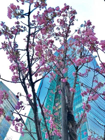 港区 六本木 桜